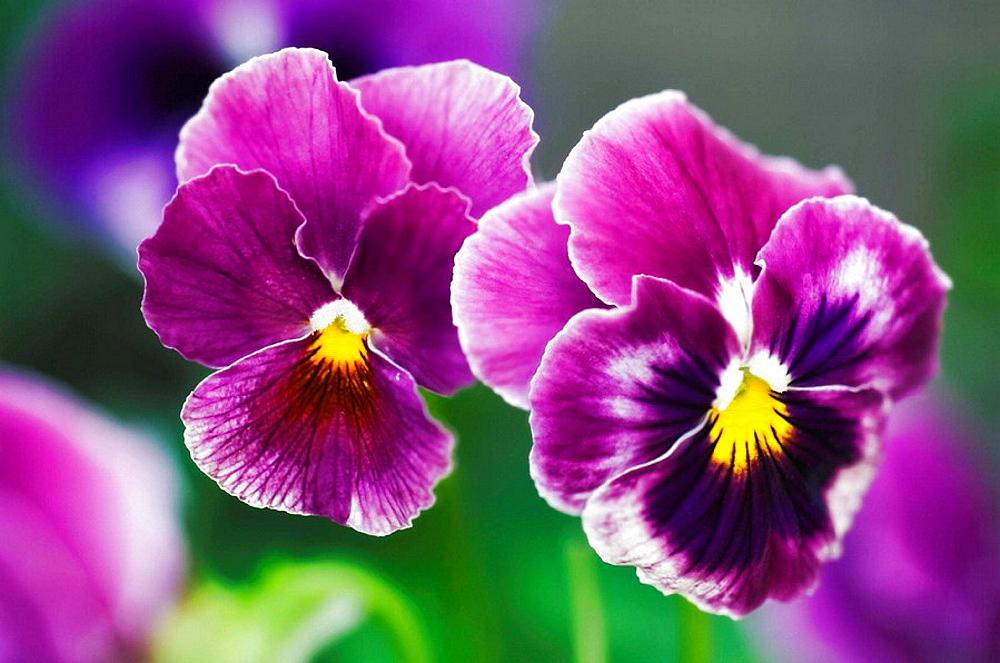 Two Pansy Flowers, Viola x wittrockiana, June 2006, Maryland, USA