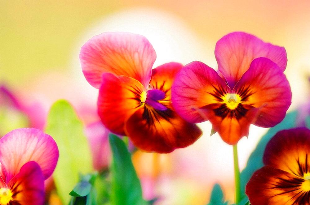 Bright Pansy Flower Family, Viola x wittrockiana - 817-180720