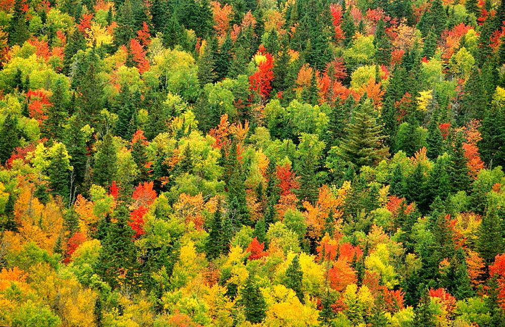 Autumn tree canopy, Foret des Laurentides, Quebec, Canada - 817-183886