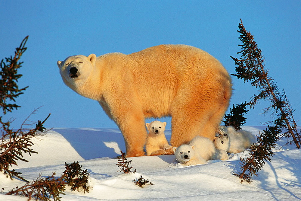 Polar bear with three 3 months-old cubs, Coming out of the den in March, Waspuk National Park, Manitoba, Canada