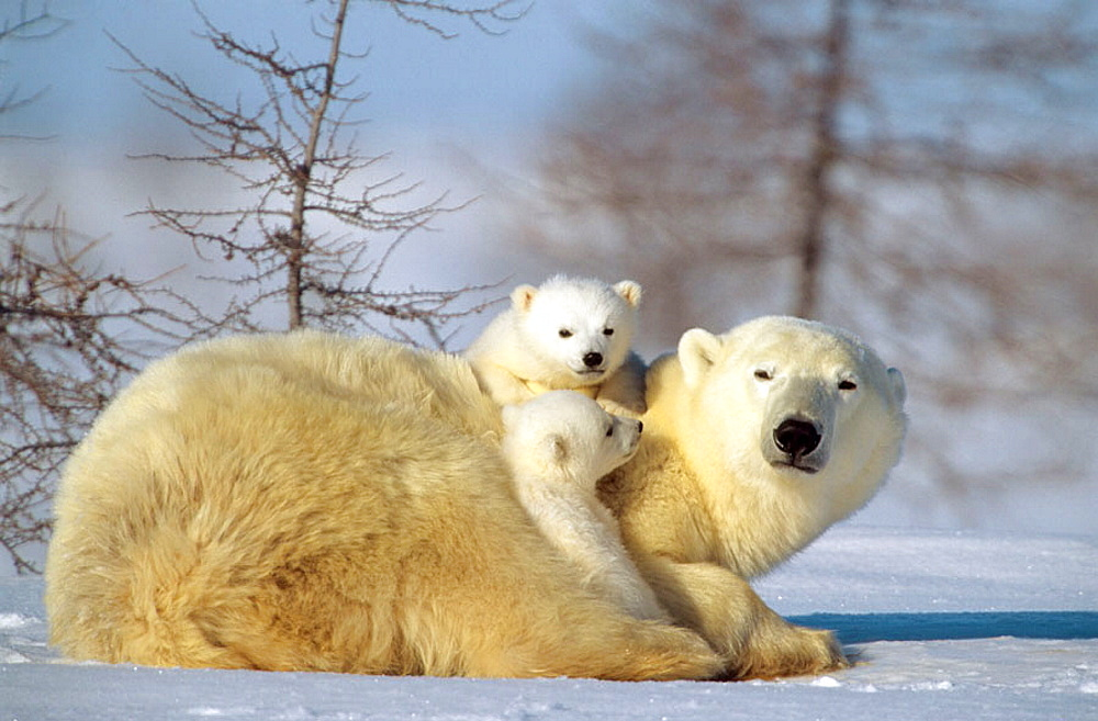 Polar bear mother (Ursus maritimus) with two 3 months old cubs, Wapusk National Park, Manitoba, Canada