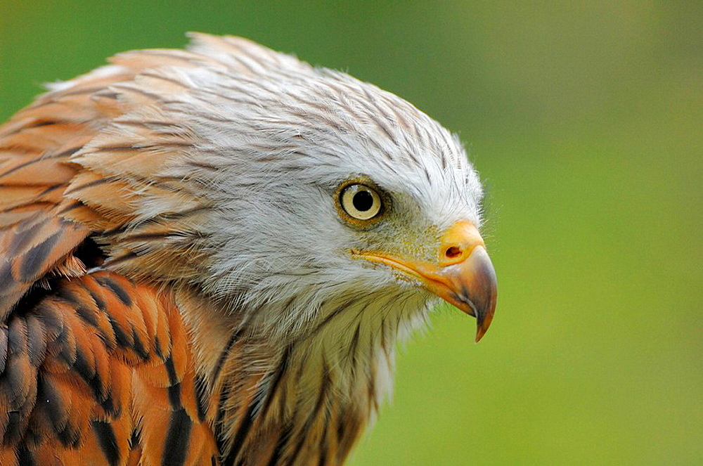 Portrait of Red kite (Milvus milvus) red list of endangered species