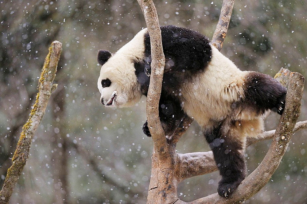Subadult giant panda climbing in a tree (Ailuropoda melanoleuca) Wolong Nature Reserve, China - 817-184211
