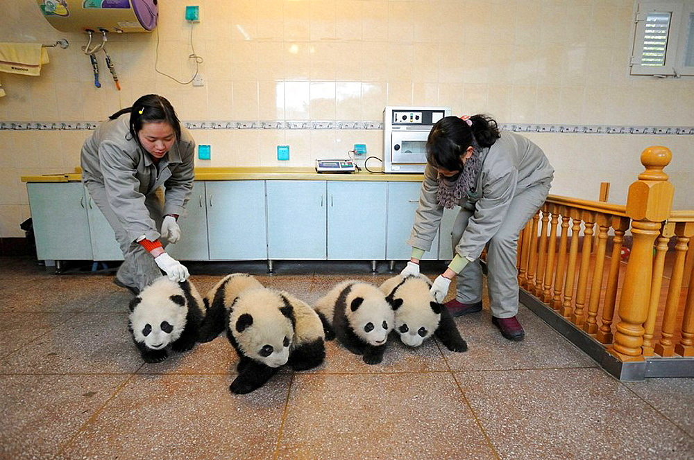 Group of giant panda babies, aged 5 months (Ailuropoda melanoleuca) with keepers in Wolongs nursery, Wolong Nature Reserve, China - 817-184212