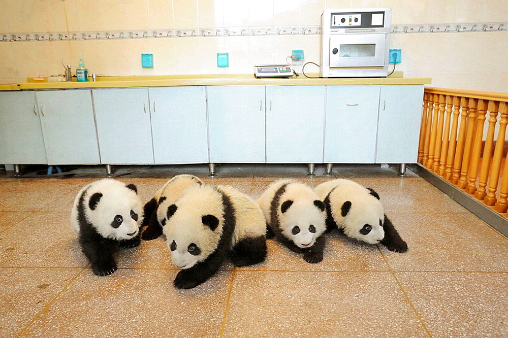 Group of giant panda babies aged 5 months  (Ailuropoda melanoleuca) in Wolongs nursery, Wolong Nature Reserve, China