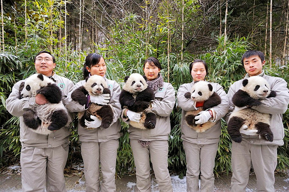 Keepers team holding giant panda babies aged 5 months (Ailuropoda melanoleuca) at Wolong Nature Reserve, China, 2008