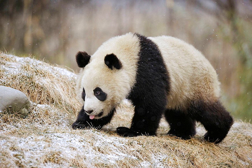 Giant panda (Ailuropoda melanoleuca) Wolong Nature Reserve, China - 817-184236