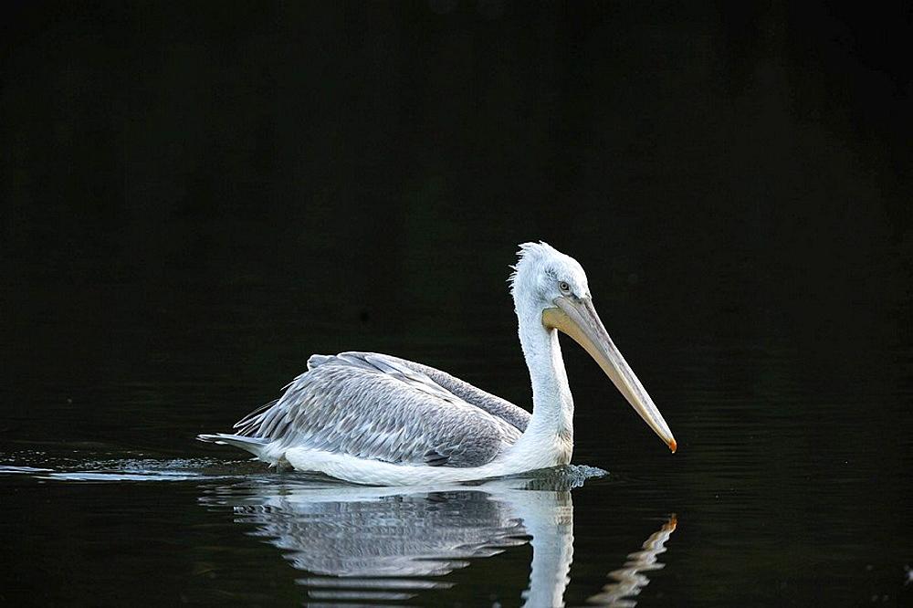 Dalmatian pelican on water (Pelecanus crispus) IUCN red list of endangered species VU, vulnerable, seabird