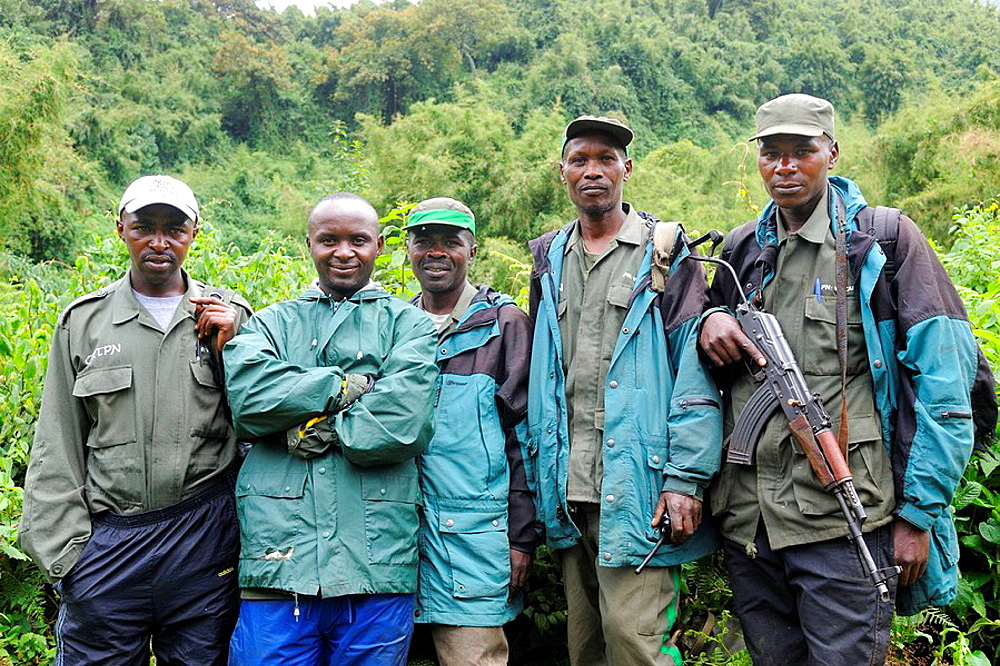 Team of guides and guards for Mountain gorilla (Gorilla beringei beringei) at the Volcanoes National Park, Rwanda, Africa - 817-184391