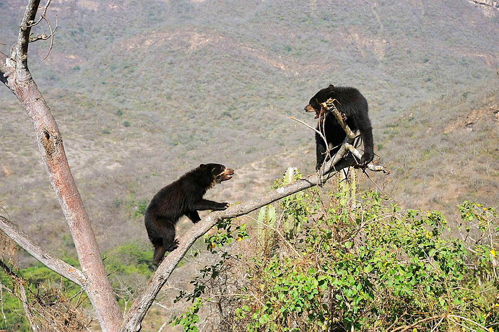 Encounter and fighting between two spectacled bears (Tremarctos ornatus) climbing in tree, Chaparri Ecological Reserve, Peru, South America