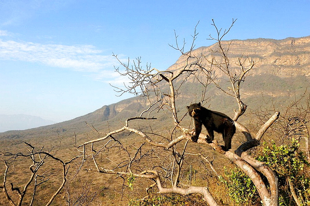 Spectacled bear (Tremarctos ornatus) climbing in tree, Chaparri Ecological Reserve with mount Chaparri in the background, Peru, South America