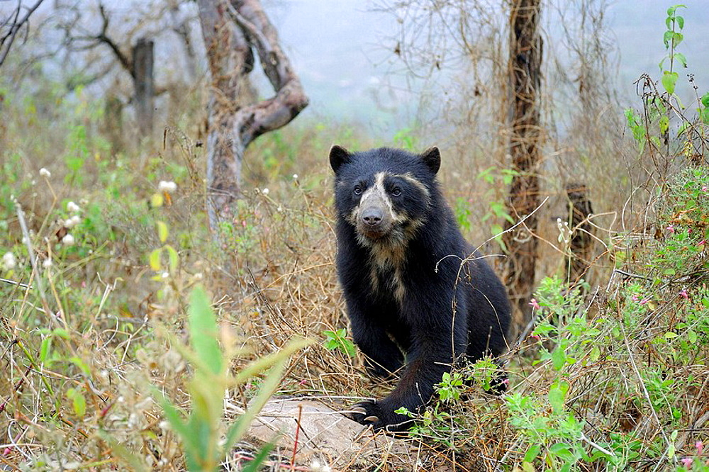 Spectacled bear (Tremarctos ornatus) in the dry forest, Chaparri Ecological Reserve, Peru, South America