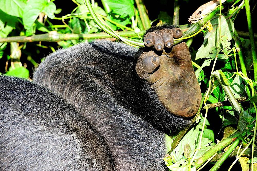 Posterior leg and hand of silverback mountain gorilla male (Gorilla beringei beringei) Virunga National Park, Democratic Republic of Congo, Africa - 817-184519