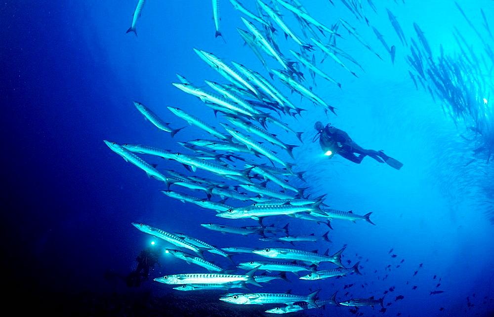 Blackfin barracuda and scuba diver, Sphyraena qenie, Sudan, Africa, Red Sea