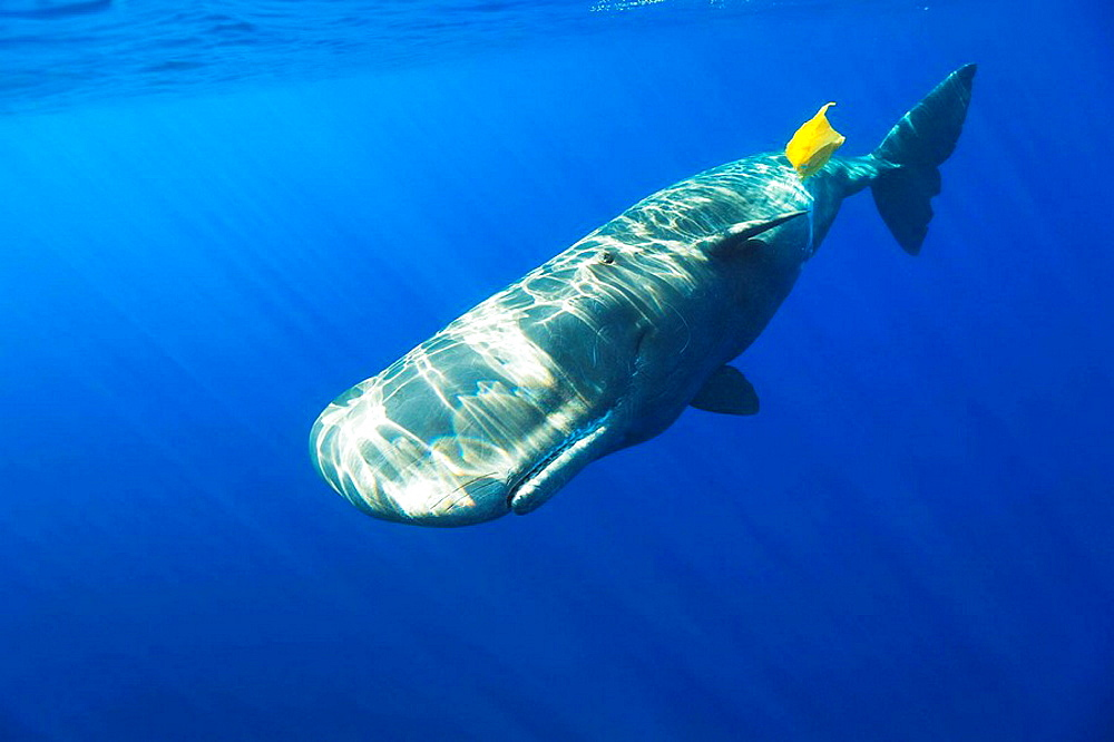 Sperm Whale plays with Plastic Waste, Physeter catodon, Azores, Atlantic Ocean, Portugal