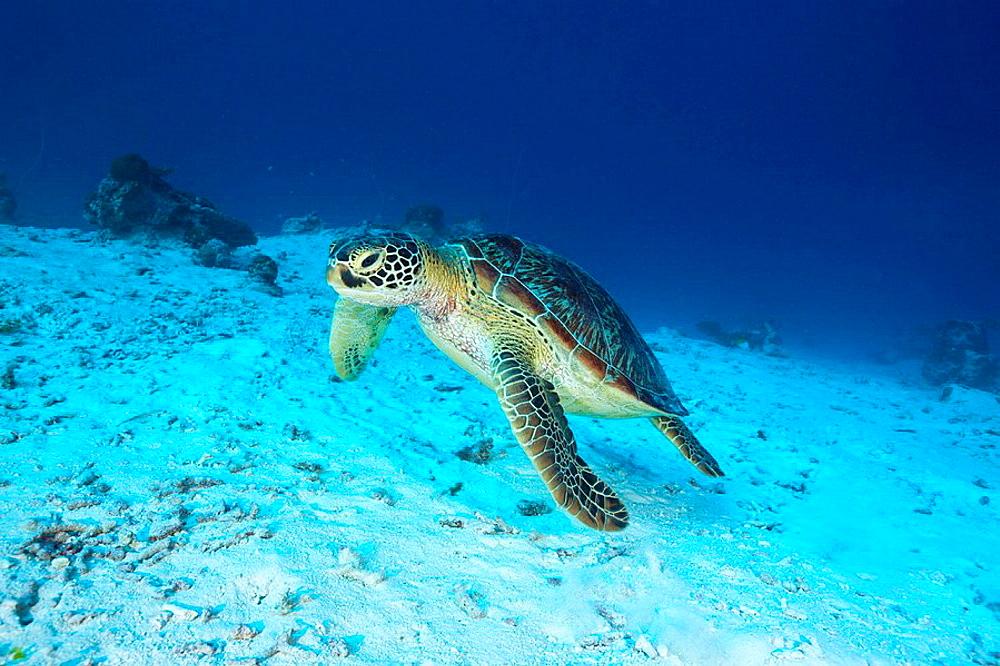 Green Turtle, Chelonia mydas, German Channel, Micronesia, Palau