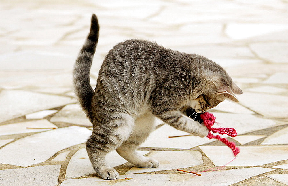 Kitten playing with a piece of fabric.