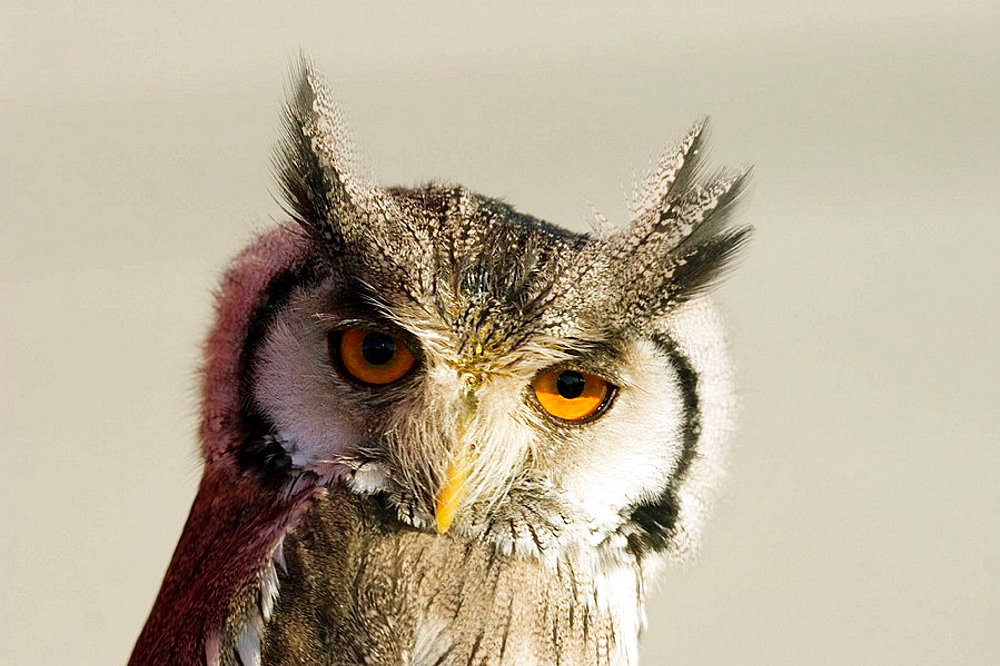 Small owl looking into the camera with big bright orange eyes