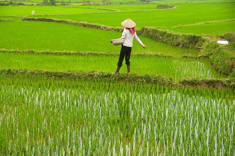 farmer fertilizing the rice fields near Sapa Vietnam