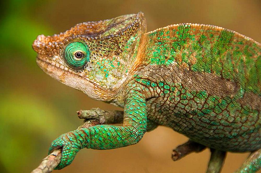 Parsons chameleon Calumma parsonii in Andasibe National Park in Madagascar