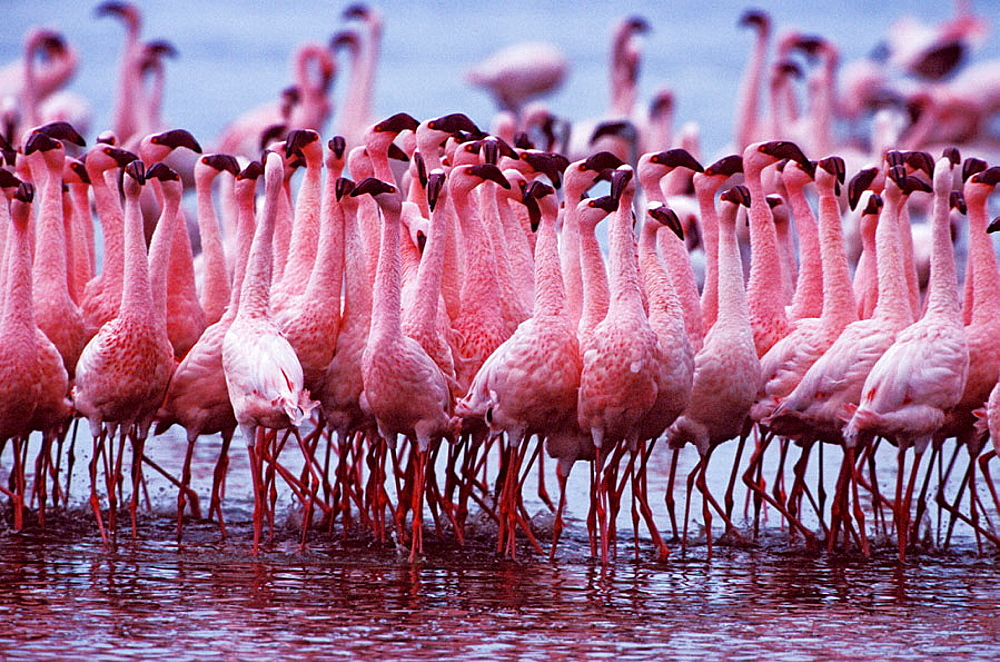 AFRICA, Kenya, Lake Nakuru Lesser Flamingo - Phoeniconaias minor - 817-190982