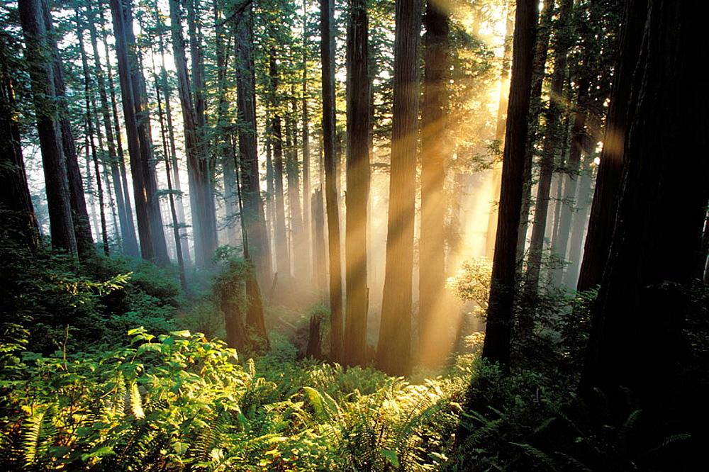 Sunrays shining through forest, Redwoods National Park, California, USA