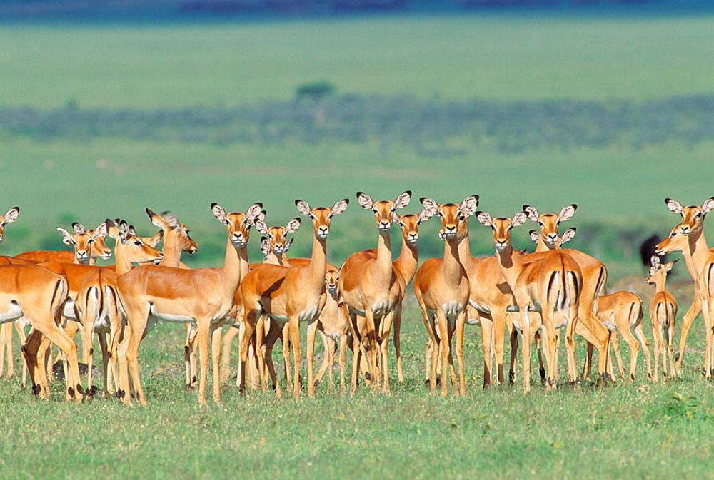 Impala (Aepyceros melampus) Africa, Kenya, Masai Mara Game Reserve.