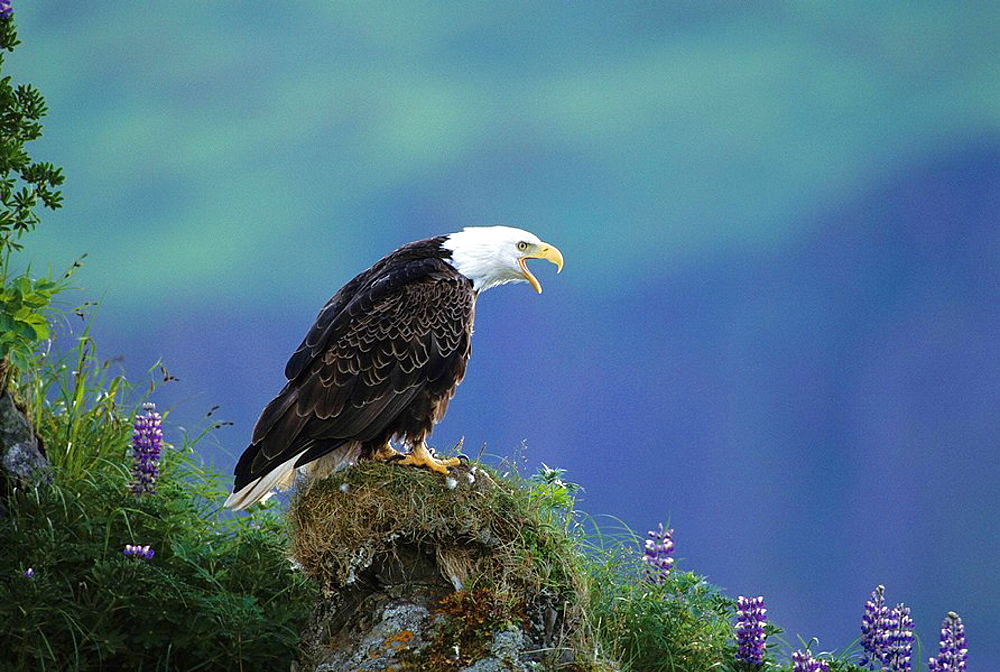 Bald eagle (Haliaeetus leucocephalus) roosting on grassy hillside