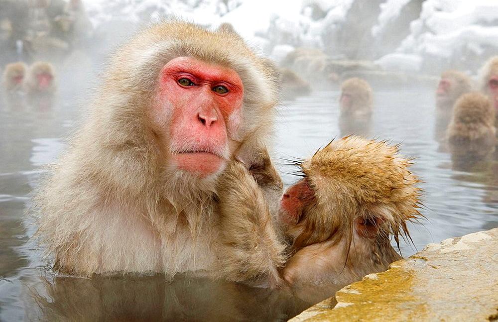 Japanese Snow Monkey (Macaca fuscata) - 817-191228
