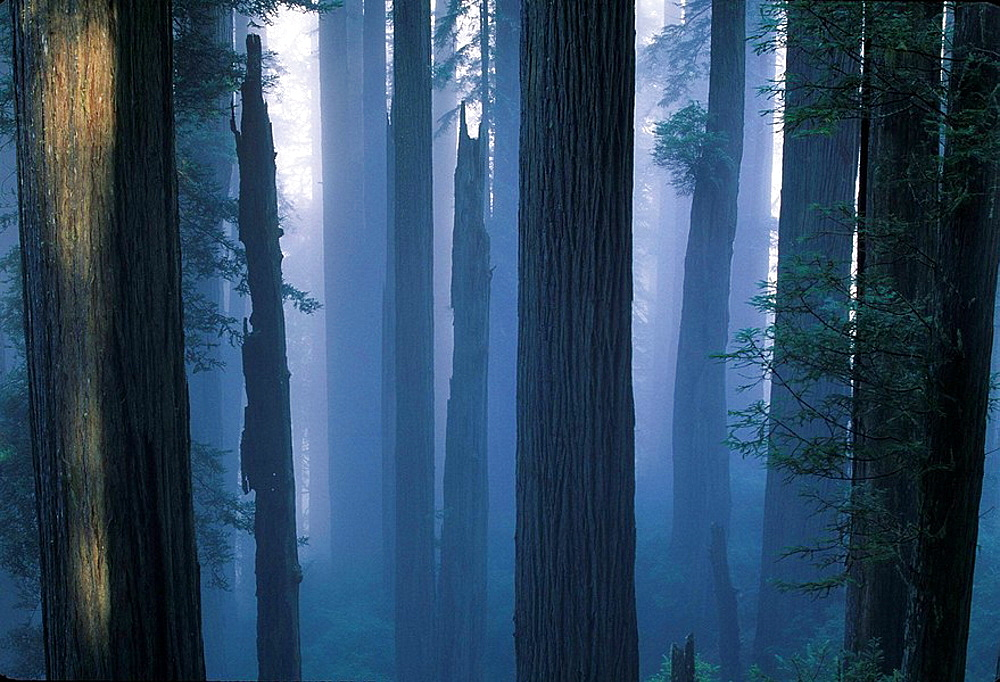 Morning mist in the Redwoods National Park