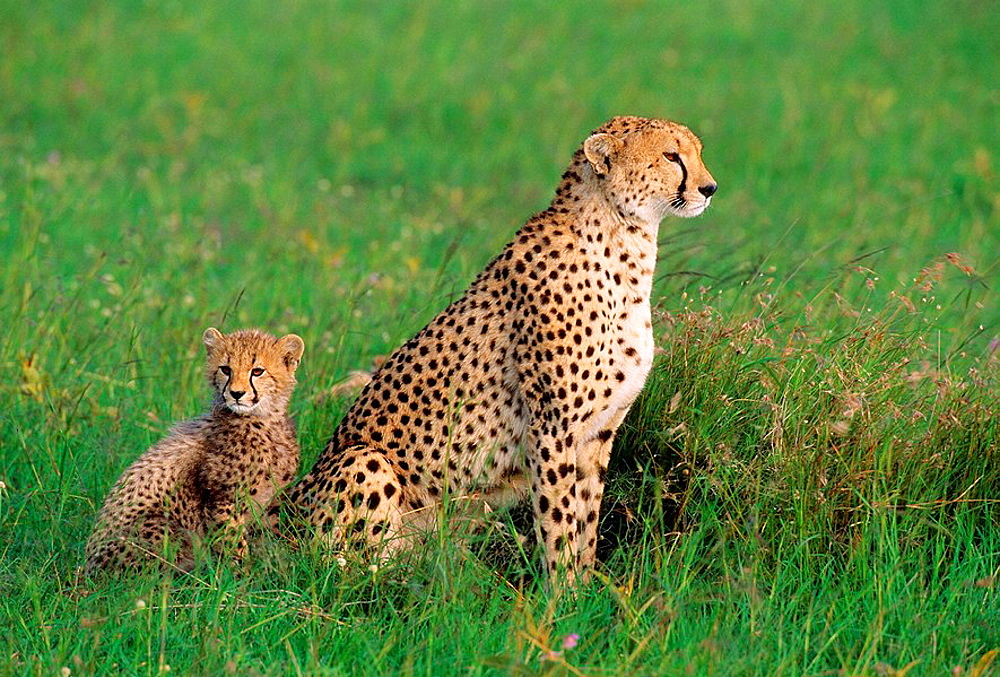 Adult Female Cheetah Acinonyx jubatas stands with cub looking out on savanna