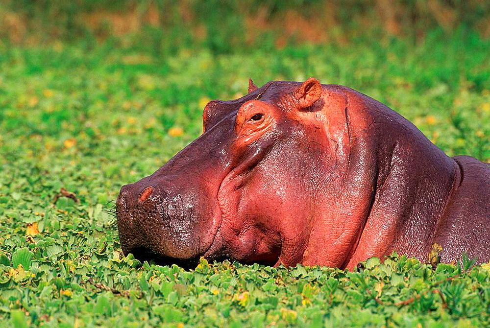 Hippopotamus Hippopotamus amphibius swimming in pond covered with green leaves