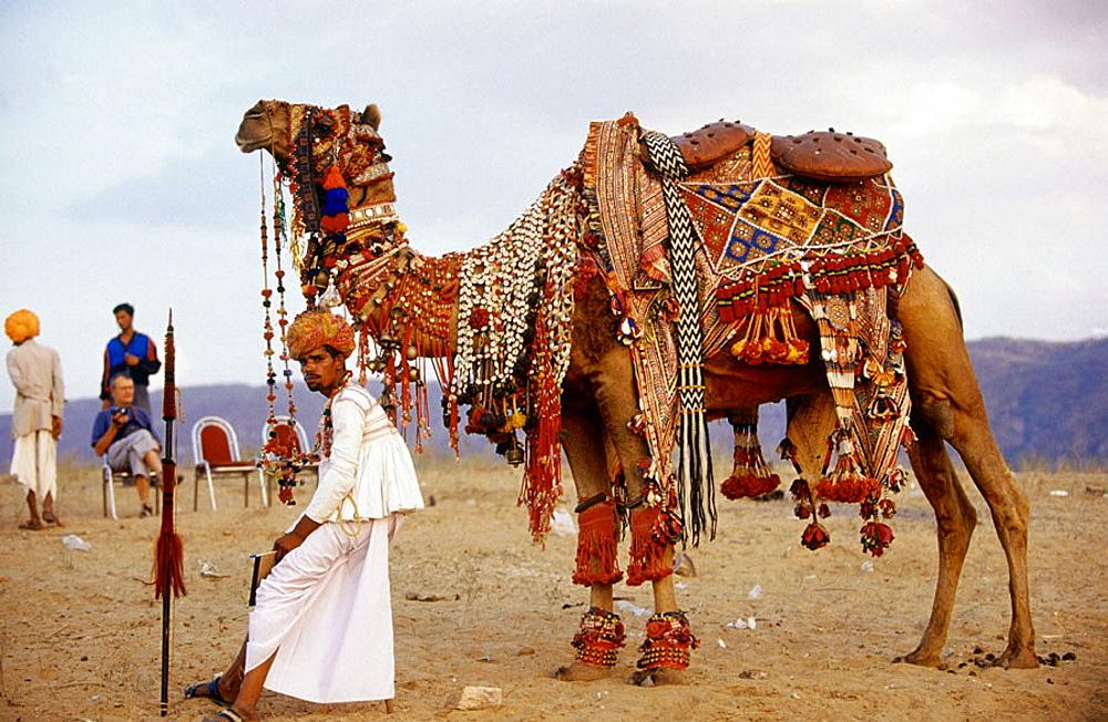 A decorated camel in camel fair at Puskar, Rajasthan, India. - 817-191639