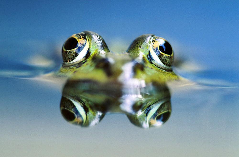 Water Frog (Rana esculenta) - 817-1933