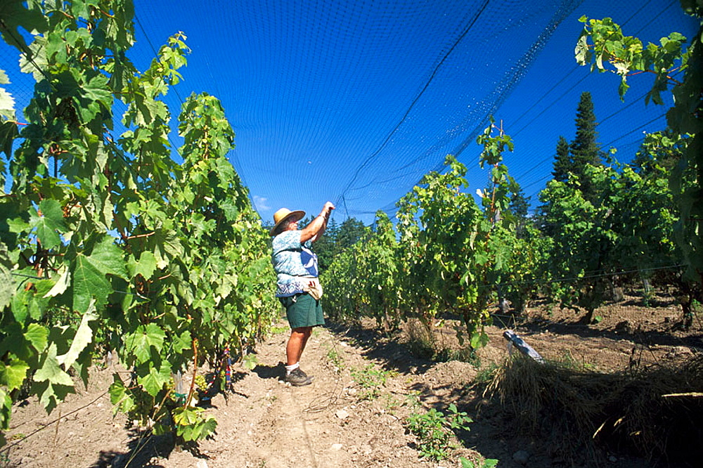 A vineyard worker sets netting up over the vines to protect the fruit from birds at Lopez Island VineyardsThis estate vineyard and winery practices organic farming, Washington, USA