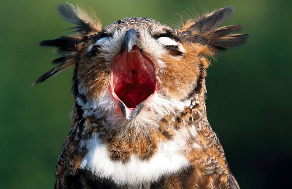 Great Horned Owl (Bubo virginianus) calling