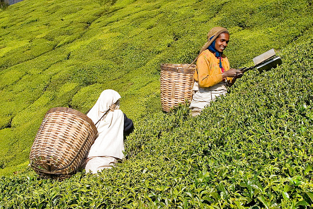 Women picking up tea leaves in a tea estate near Ooty, Tamil Nadu, India