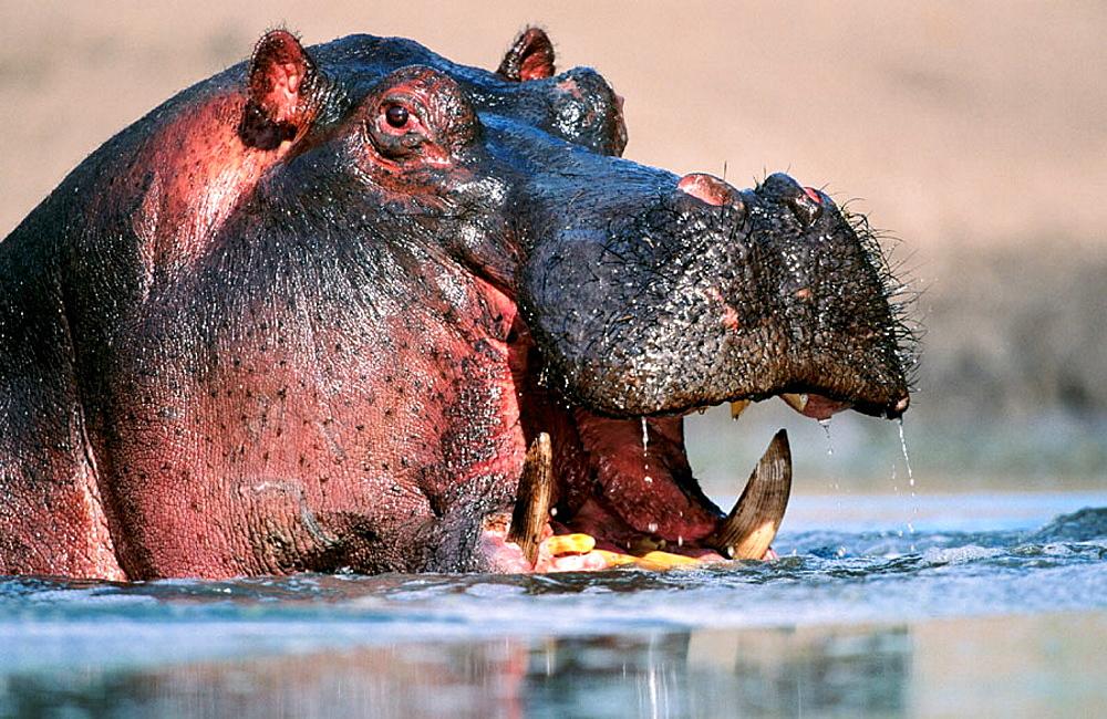 Hippopotamus, Serengeti NP, Tanzania
