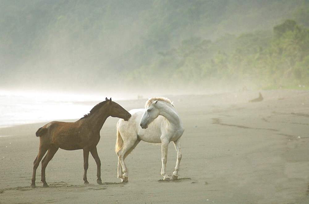 In the rain forest Wild Horses on the foggy beach interacting or playing, Dark brown and white horses, Osa Peninsula, Costa Rica
