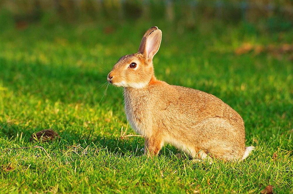 Wild Rabbit, Oryctolagus cuniculus, standing alert