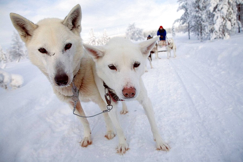 Finland, Lapland, sled - 817-198569