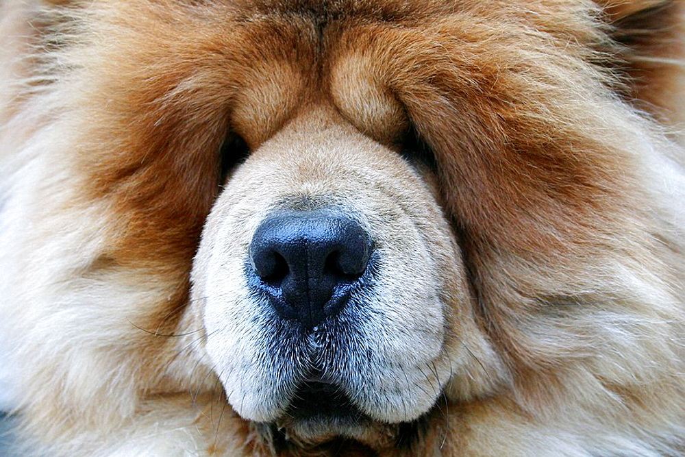 Portrait of Large Furry Dog Face     San Francisco - 817-198647