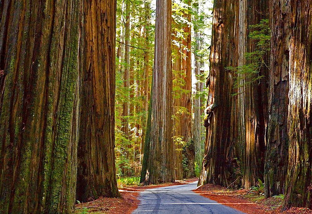 Redwoods (Sequoia sempervirens)Humboldt Redwoods State Park, California, Usa