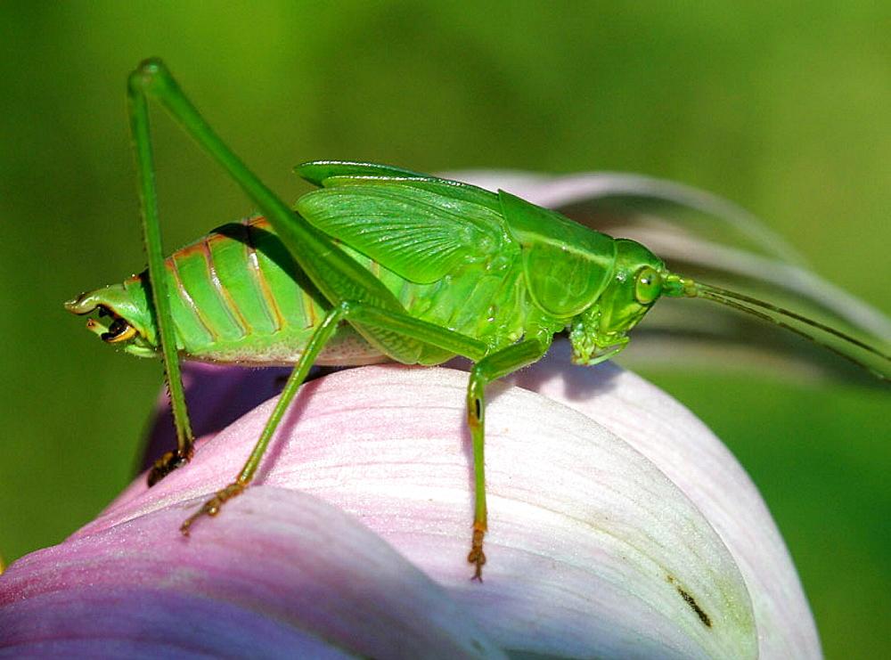 Katydid, Insecta, Orthoptera, Tettigoniidae, Michigan, USA