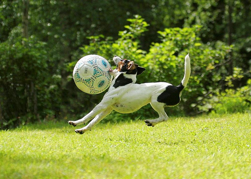 Dog playing withh ball, Danish Swedish Farmdog