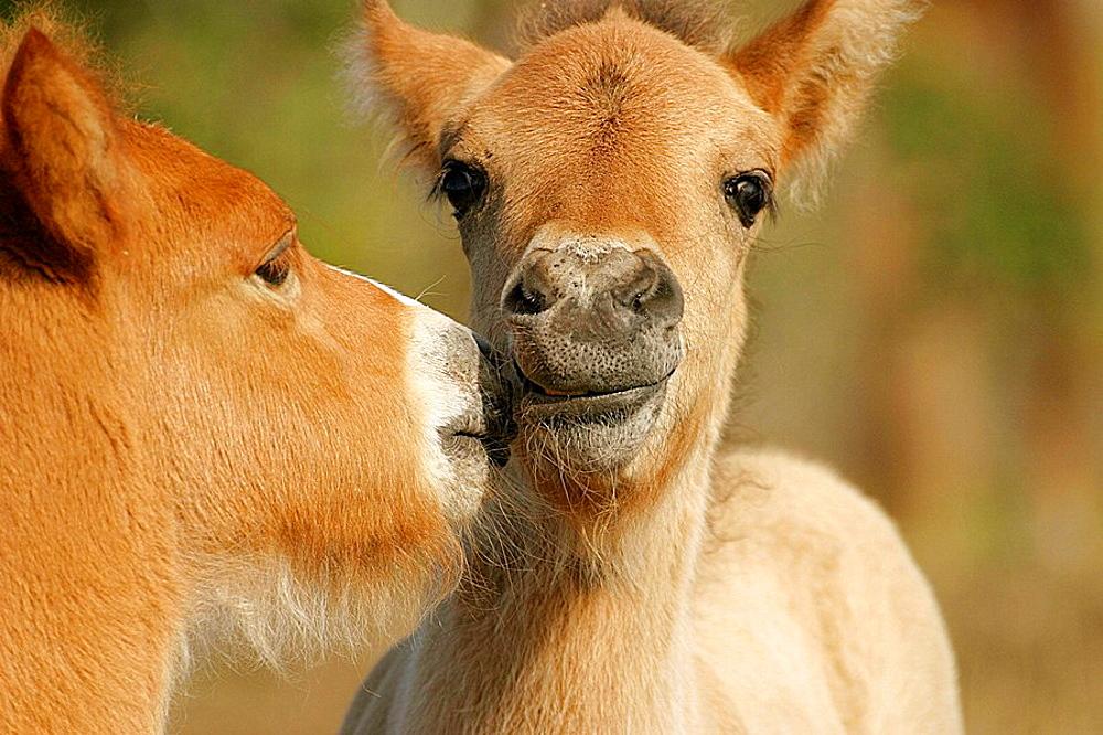 Icelandic horses, foals