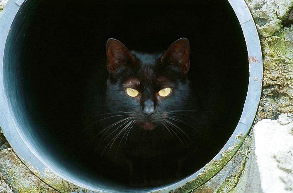 Black cat - 817-199662