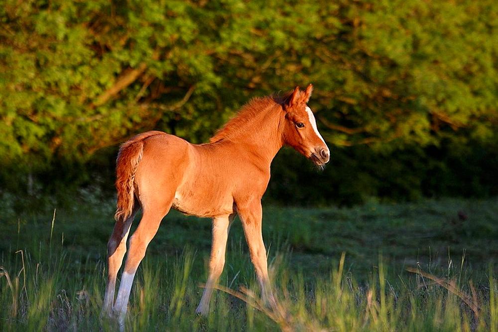 Welsh pony, Skåne, Sweden
