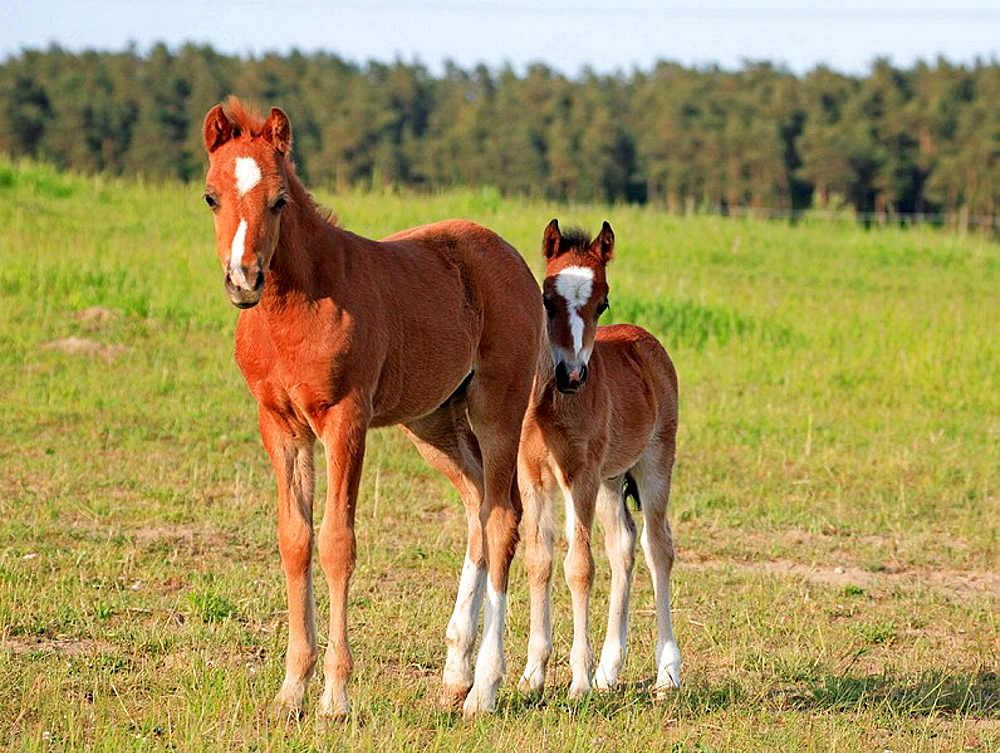 Welsh pony, Skane, Sweden