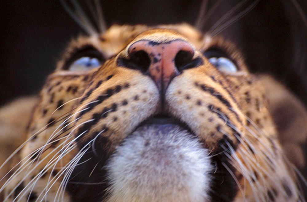 Leopard (Panthera pardus), Tanzania - 817-2010